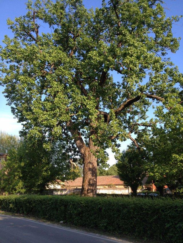 Potatura in Tree Climbing del Pioppo di Ca' Oddo a Monselice (Padova)
